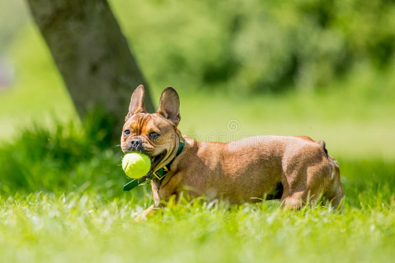 Rescue dog playing with a yellow ball in a field. Short face and ears dog, big ears back. dog running jumping and playing in a park, field garden or meadow stock photography
