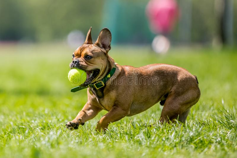 Rescue dog playing with a yellow ball in its mouth a field. Short face and ears dog, big ears back. dog running jumping and playing in a park, field garden or royalty free stock photos