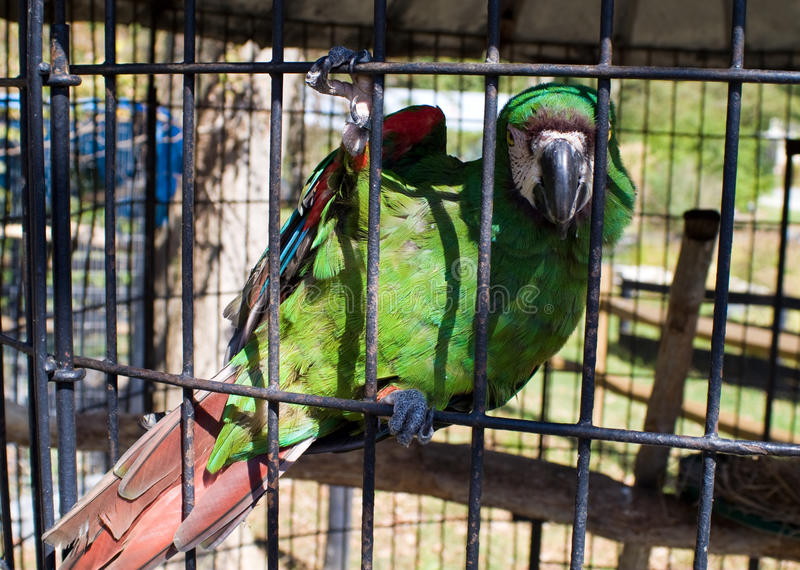 Rescued Caged Macaw
