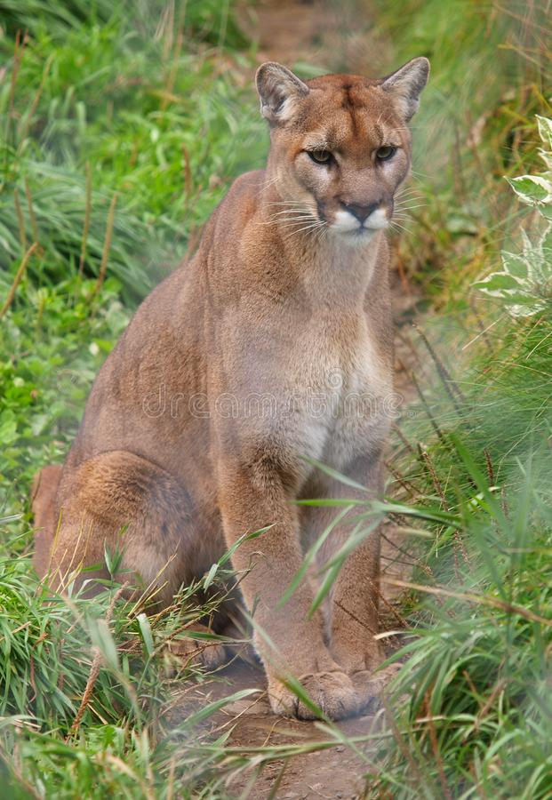 Cougar behind fence royalty free stock photos