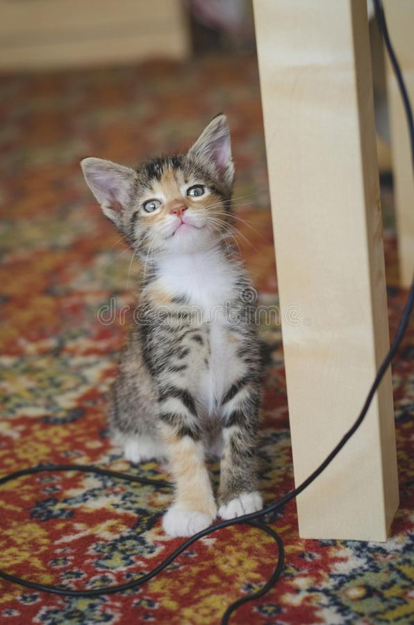 Rescued funny calico kitten looking suspicious at the camera stock photo
