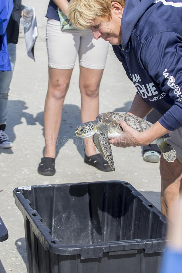 Rescued Green Sea Turtle Picked up For Release royalty free stock image