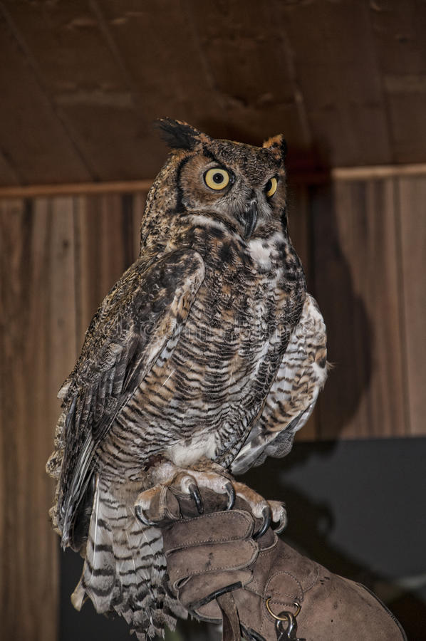 Rescued owl display at Chimney Rock State Park North Carolina USA. One of NCs newest state parks, Chimney Rock brings the best of the mountains together in one royalty free stock image