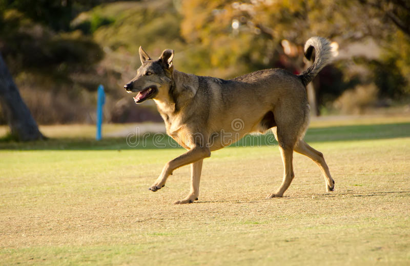 Rescued street dog having fun. Mixed breed rescued dog playing on green grass happy looking at new owner royalty free stock photo