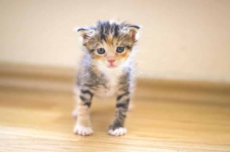 Rescued tiny baby cat learning how to walk and stand royalty free stock photos