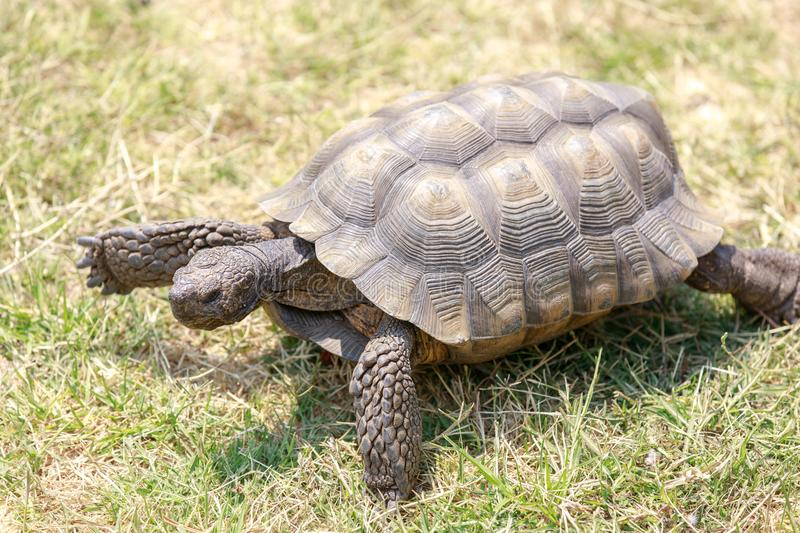 Captive adult male California Desert Tortoise walking on grass. royalty free stock photos