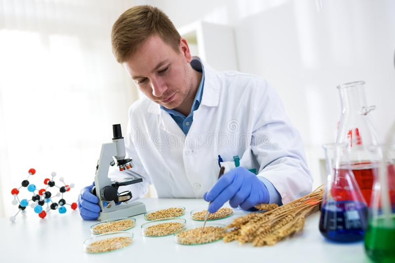 Research quality of wheat, expert working at professional laboratory. Man research quality of wheat, expert working at professional laboratory royalty free stock photo