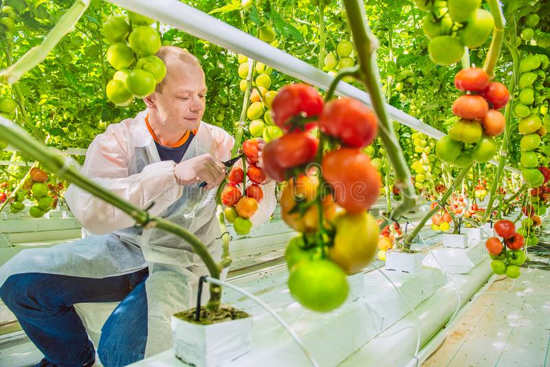 Working in greenhouse stock photos