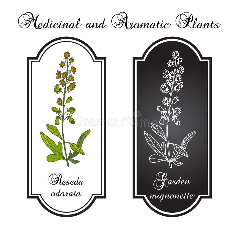 Reseda oder Mignonette, aromatisch und Heilpflanze vektor abbildung