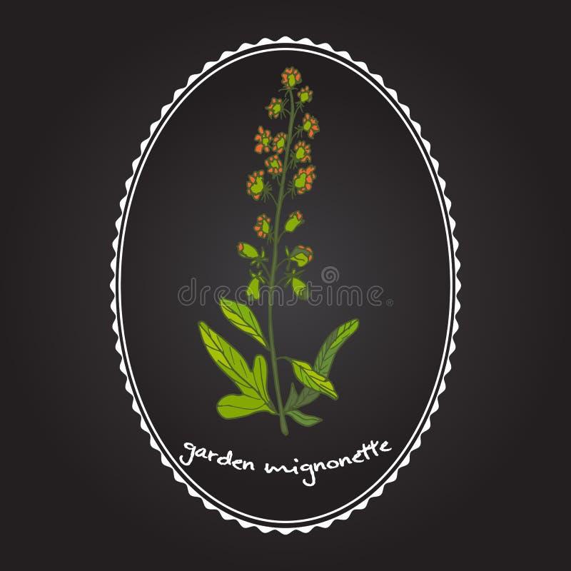 Reseda oder Mignonette, aromatisch und Heilpflanze stock abbildung