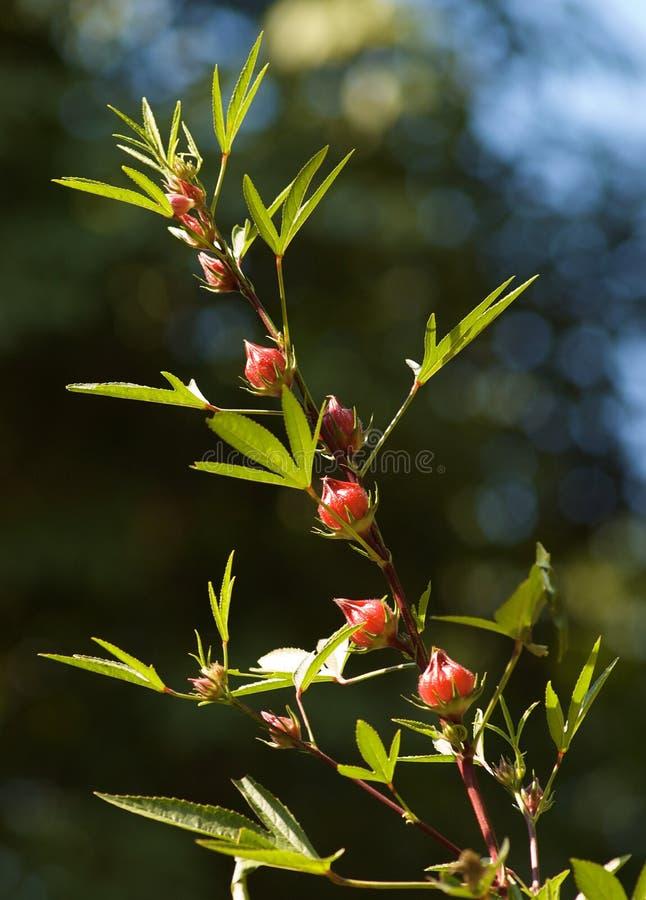 Download Reselle czerwony kobylak zdjęcie stock. Obraz złożonej z poślubnik - 15787088