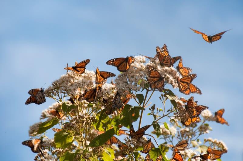 reserv för biosfärfjärilsmexico monark royaltyfri bild