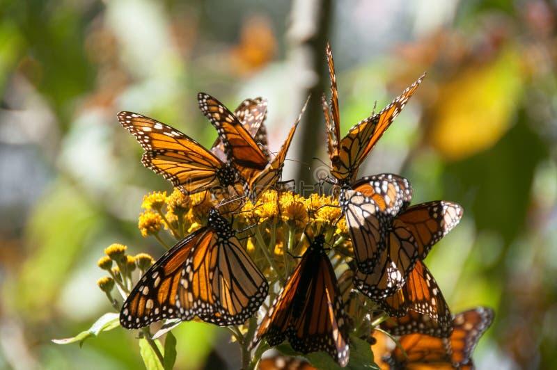 reserv för biosfärfjärilsmexico monark arkivfoto