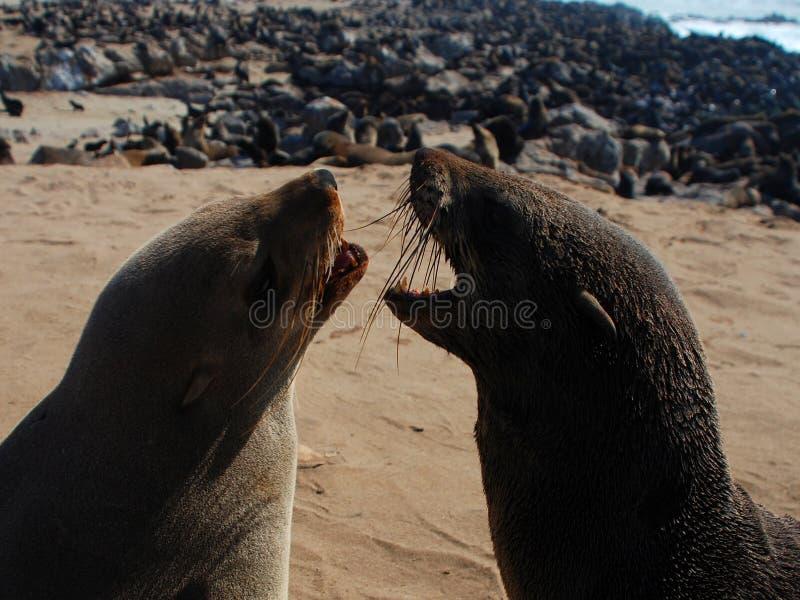 Reserva cruzada del sello del cabo Costa esquelética Namibia fotografía de archivo
