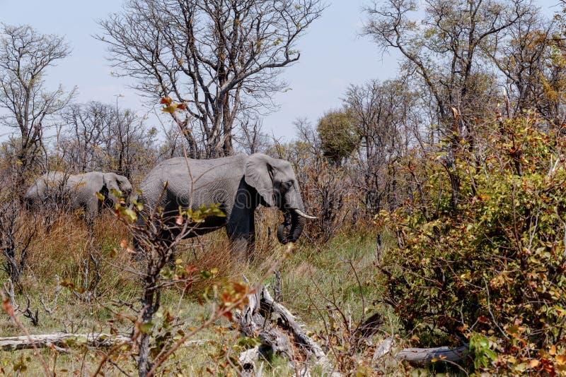 Reserva do jogo de Moremi do elefante africano, delta de Okawango fotografia de stock