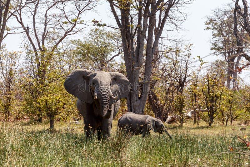 Reserva do jogo de Moremi do elefante africano, delta de Okawango fotografia de stock royalty free