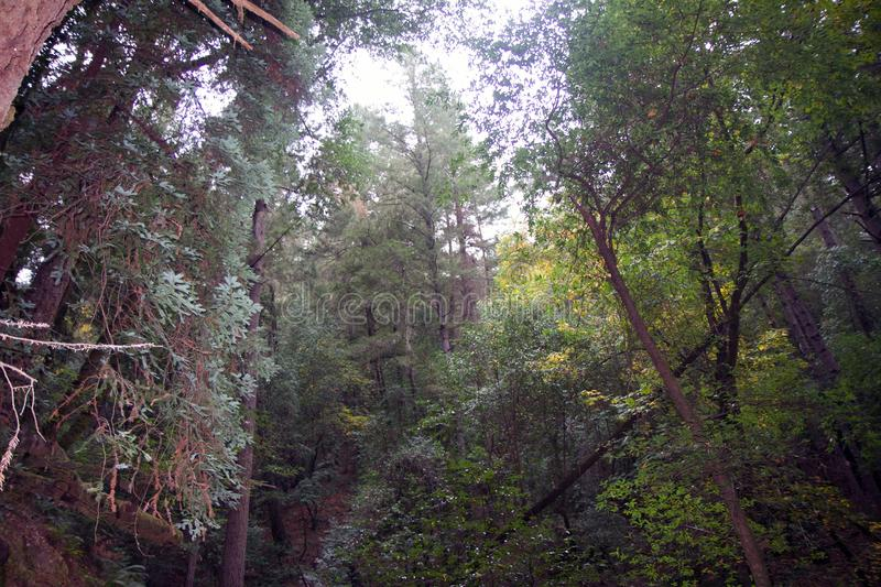 Armstrong Redwoods State Natural Reserve, California, United States - to preserve 805 acres 326 ha of coast redwoods Sequoia s. The reserve is located in Sonoma stock images