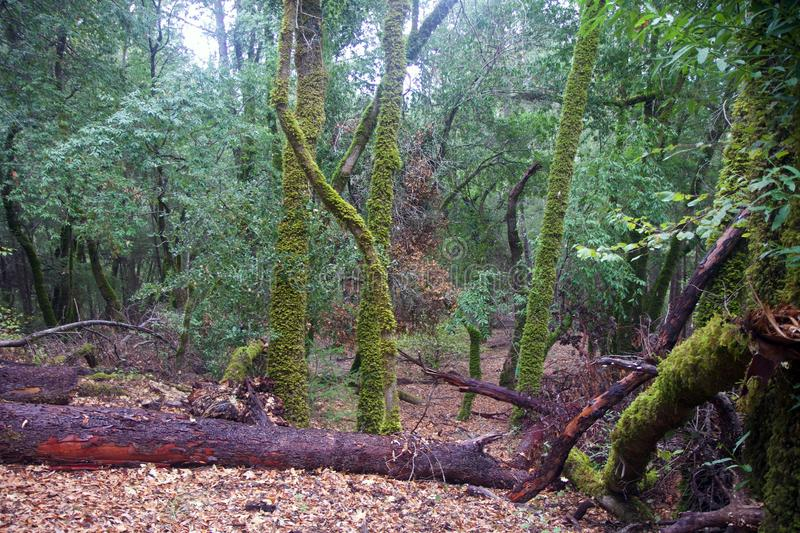 Armstrong Redwoods State Natural Reserve, California, United States - to preserve 805 acres 326 ha of coast redwoods Sequoia s. The reserve is located in Sonoma royalty free stock photos