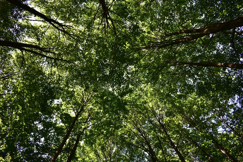 The crowns intertwine, forming a dome of foliage, stunning in its brightness and color saturation. In the reserved oak grove in untouched sacred groves, under stock photography