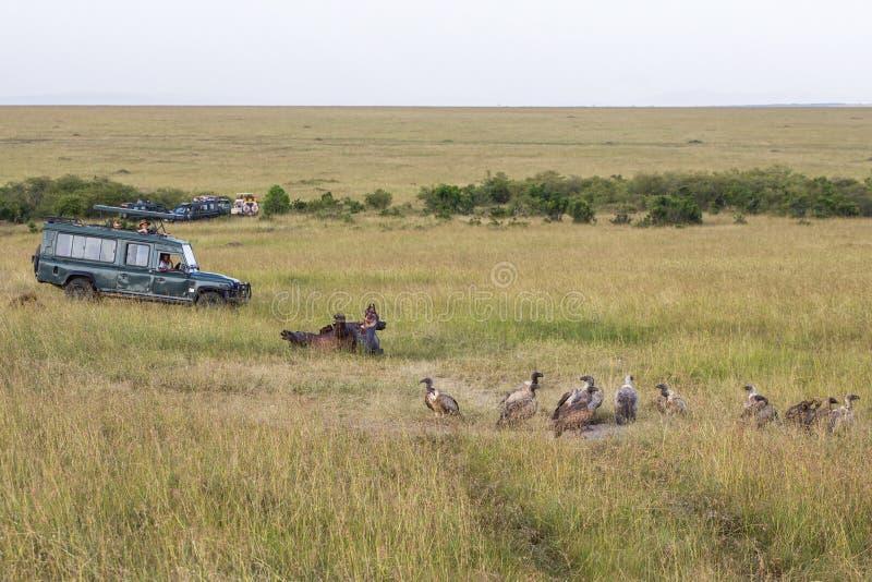 Reses muertas con los buitres y los vehículos del safari que esperan con los turistas foto de archivo libre de regalías