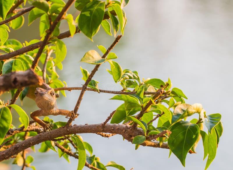 Residentes da camuflagem do camaleão a sobreviver na natureza fotos de stock