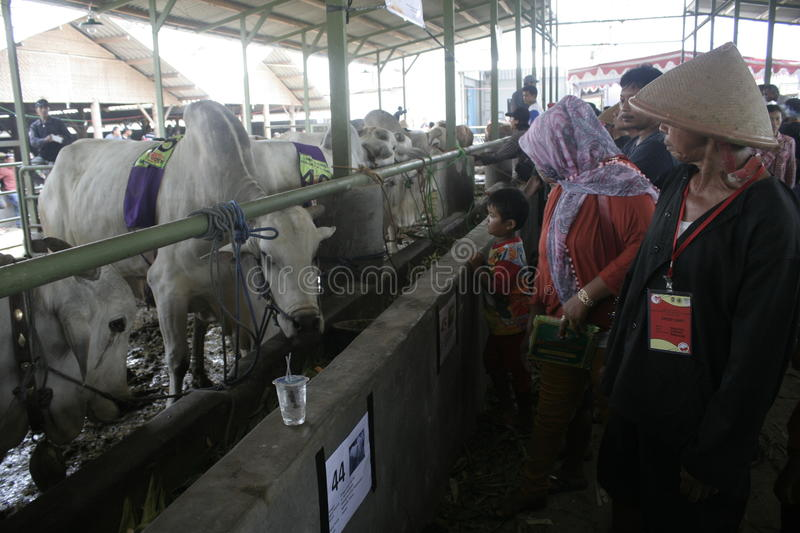 Residents Seeing Beef Cattle. Residents saw cattle that are contested in Klaten district, Central Java royalty free stock image