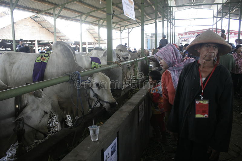 Residents Seeing Beef Cattle. Residents saw cattle that are contested in Klaten district, Central Java stock image