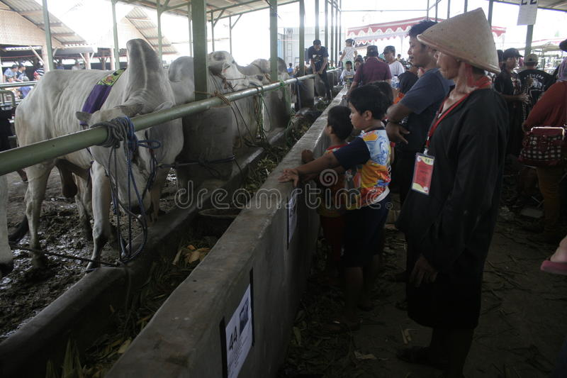 Residents Seeing Beef Cattle. Residents saw cattle that are contested in Klaten district, Central Java royalty free stock photo