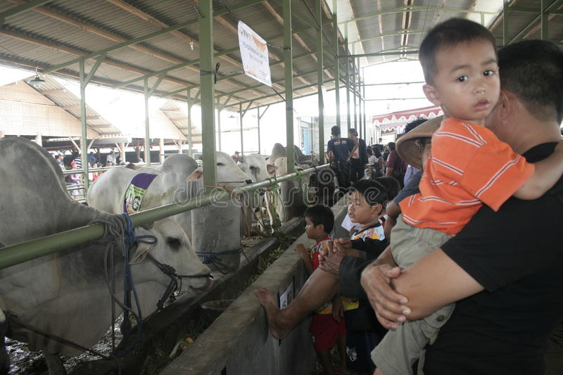 Residents Seeing Beef Cattle. Residents saw cattle that are contested in Klaten district, Central Java stock photos