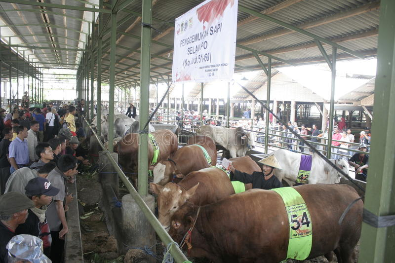 Residents Seeing Beef Cattle. Residents saw cattle that are contested in Klaten district, Central Java stock photo
