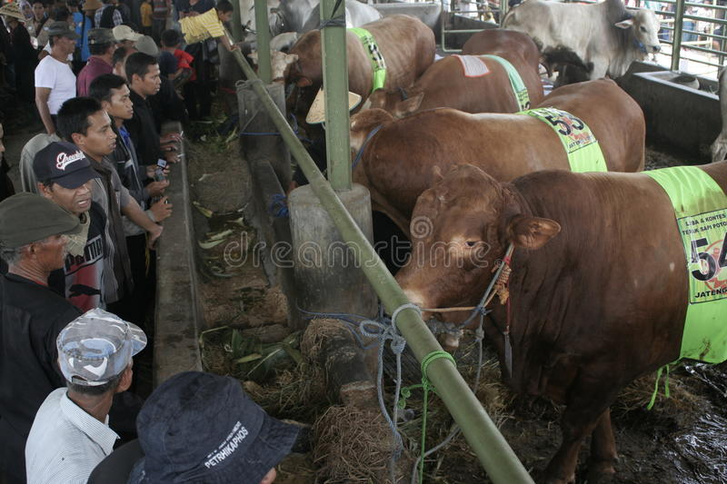 Residents Seeing Beef Cattle. Residents saw cattle that are contested in Klaten district, Central Java stock photography