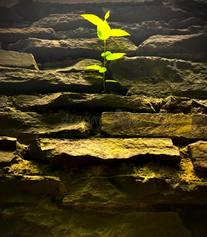 Free Resilient Plant Growing From Rocks Royalty Free Stock Image - 169785846