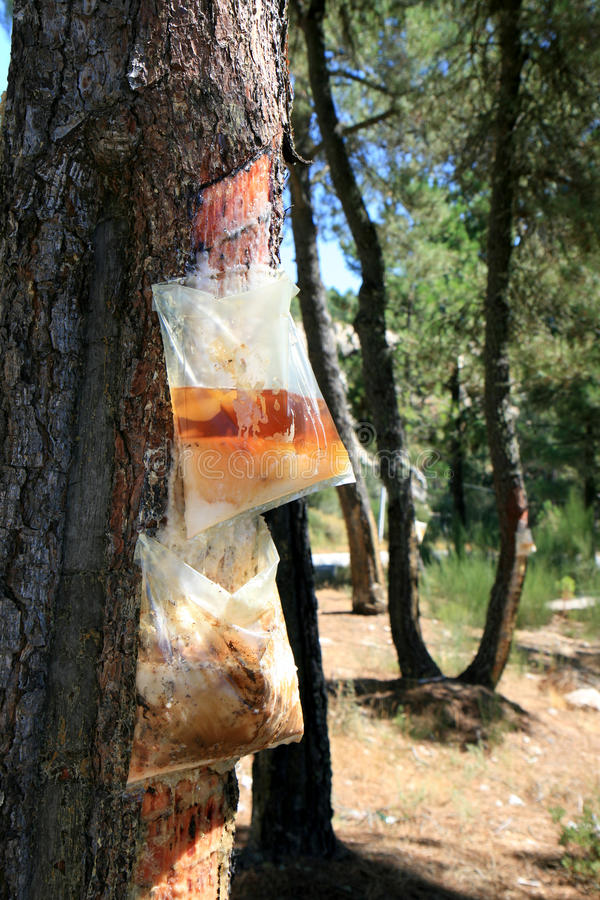 Resin extraction in Portuguese forest. Resin extraction consists of incising the outer layers of a pine tree in order to collect the sap or resin, that royalty free stock images