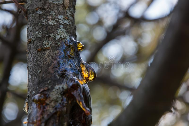 Resin on a plum tree trunk. Resin flows out of the damaged barrel. Drops of resin are similar to amber royalty free stock photography