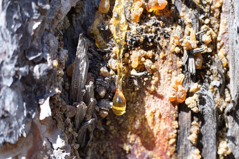 Resin on a pine tree, a drop of resin orange stock photo