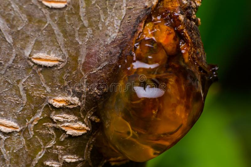 Resina amarilla en el primer del melocotón-árbol imagenes de archivo