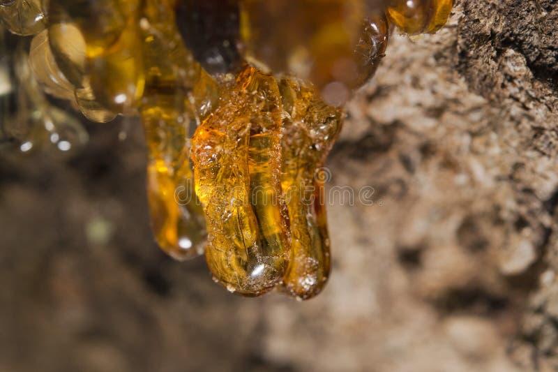 Resina ambarina natural da árvore foto de stock