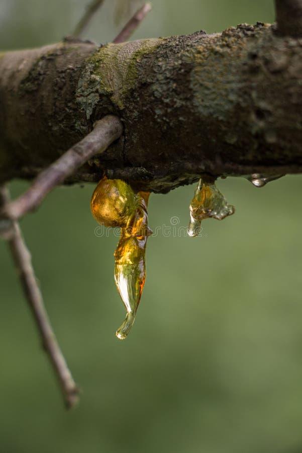 Resina congelada em um ramo de árvore foto de stock