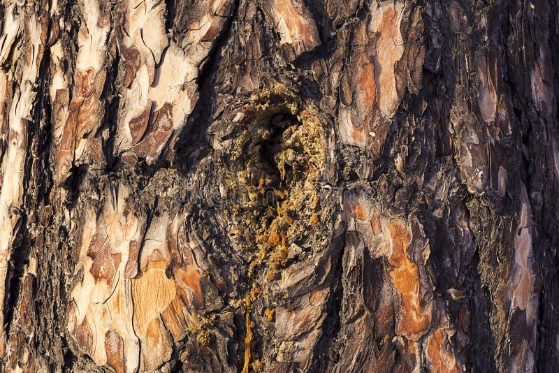 Resina en corteza de árbol de pino Primer de la corteza de árbol como fondo foto de archivo