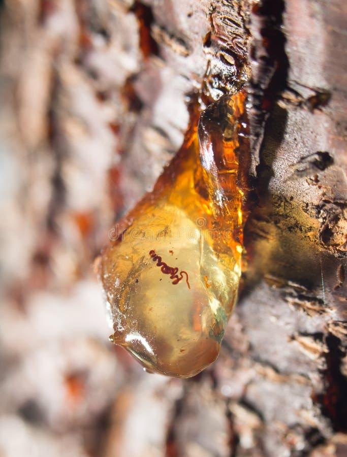 Resina en el árbol cierre fotografía de archivo