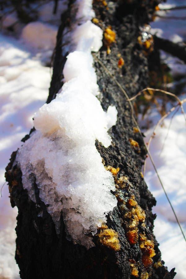 Resina en el árbol del albaricoque en la nieve fotografía de archivo