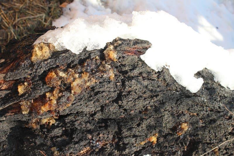 Resina en el árbol del albaricoque en la nieve fotos de archivo libres de regalías
