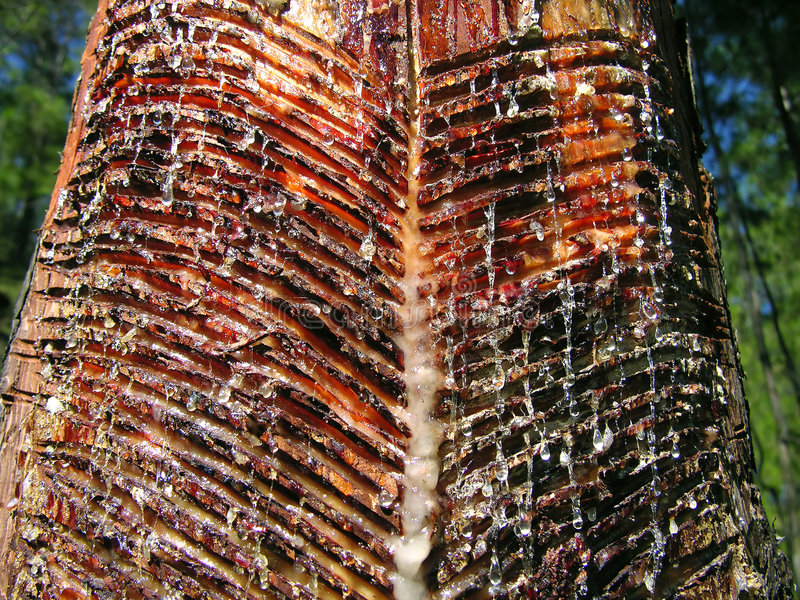 Resine collected from pine tree stock image
