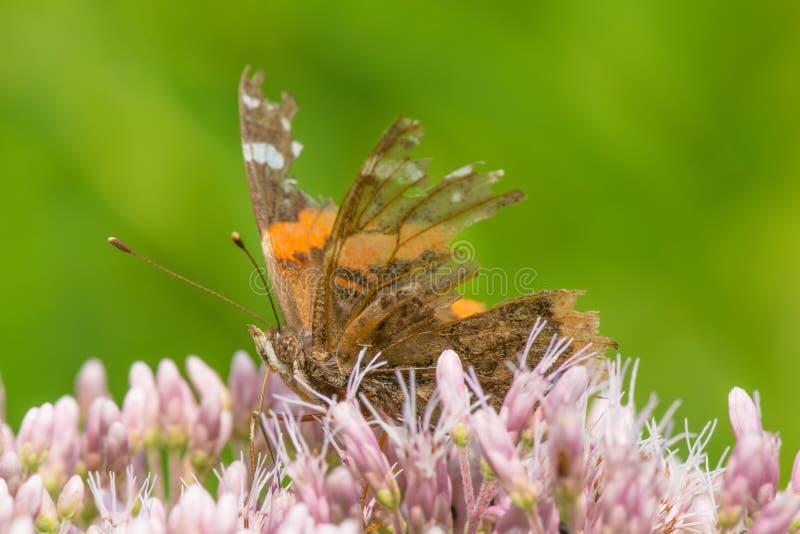 Resistiu realmente à borboleta com as peças grandes das asas que faltam - alimentando erva daninha roxa/cor-de-rosa dos wildflowe imagens de stock royalty free