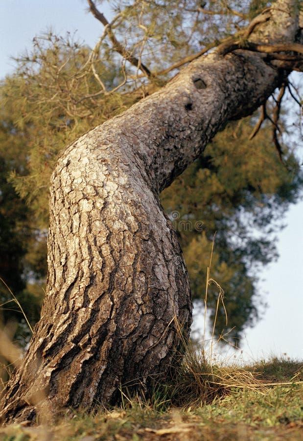 Resningträd arkivbilder