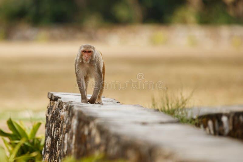 Reso del macaco sulla parete con bello fondo confuso fotografie stock libere da diritti