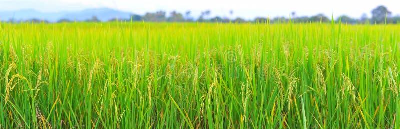 Resolución de la altura del panorama del campo del arroz. imagenes de archivo