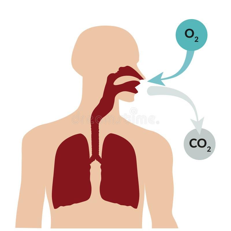 Respiración a través de la nariz y exhalación a través de la boca Sistema respiratorio fotografía de archivo libre de regalías