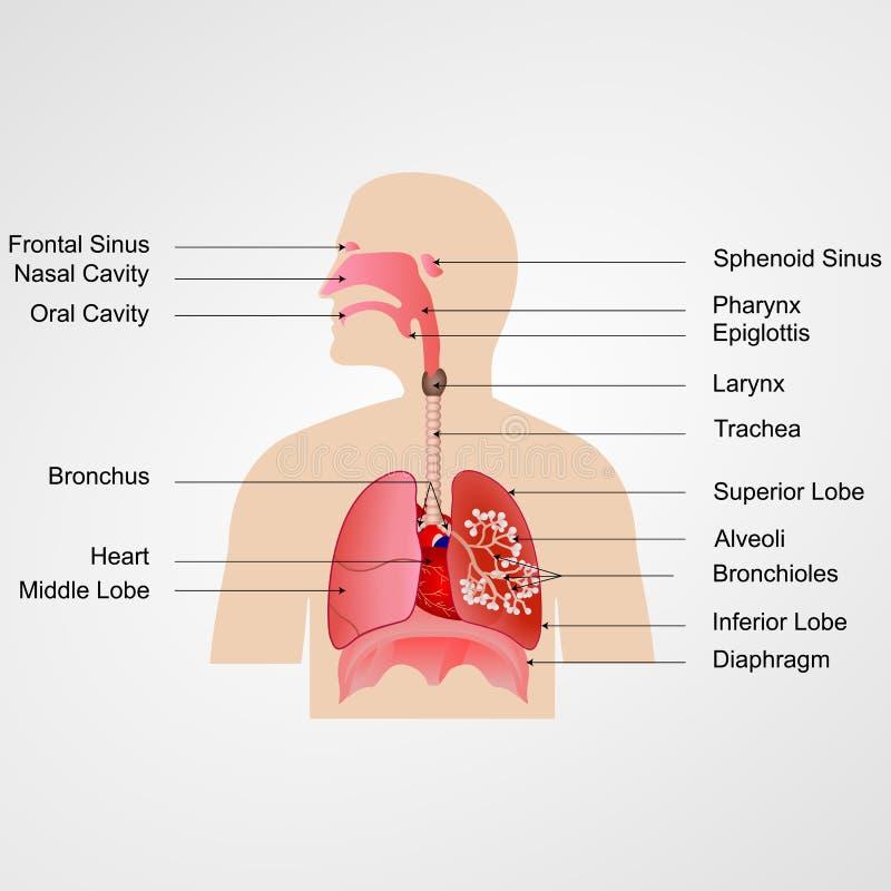 respiratoriskt system royaltyfri illustrationer