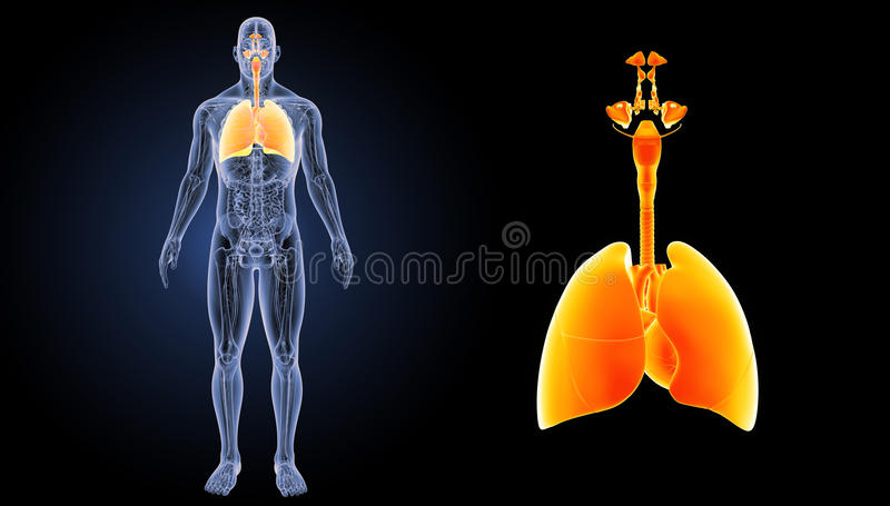 Respiratory System And Heart Zoom With Anatomy Anterior View Stock ...